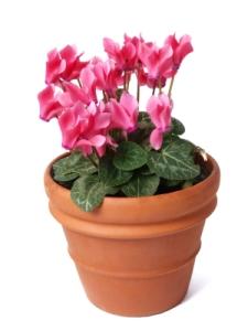 cyclamen in terracotta pot